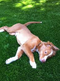 tundra artificial grass lawns for dogs at home depot