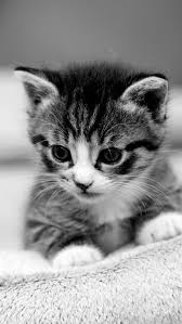 cat wallpaper iphone 6. Simple Iphone Cat Wallpapers Retina Display HD Backgrounds Image 1 With Wallpaper Iphone 6 Y