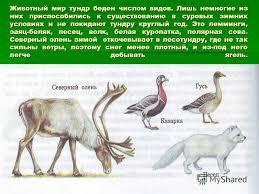 Презентация на тему Растительный и животный мир тундры Животный  2 Животный