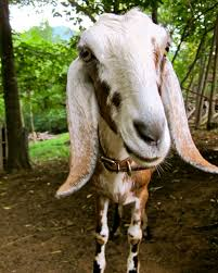 Dairy Goat Breeds The Nubians Can Produce Up To 2 Gallons Of Milk A Day Best