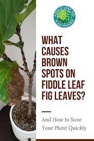view larger image brown spots on fiddle leaf fig leaves