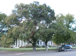 Fast growing  Trees That Please Nursery: Chisos Red Oak  A New Mexico  Native Shade Tree!