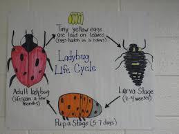 Ladybug Life Cycle Life Cycles Science Anchor Charts