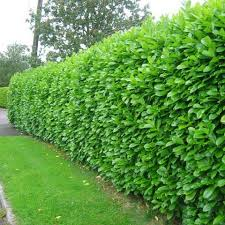 Best Privacy Hedge Best 25 Privacy Plants Ideas On Pinterest Yard Privacy  Fence