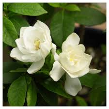 gardenia august beauty 1pc cottage hill u s d a hardiness zone