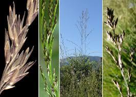 Molinia arundinacea Schrank - Sistema informativo sulla flora delle ...