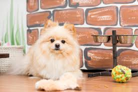 15 Best Dog Foods For Pomeranians Our 2019 In Depth Feeding