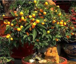Orange Tree With Small Fruits Royalty Free Stock Image  Image Small Orange Fruit On Tree