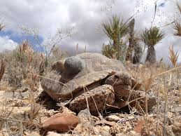 Desert Tortoise Facts Habitat Diet Life Cycle Baby Pictures