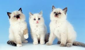 Small Picture Ragdoll Cat Breed Information