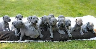 newborn great dane. Brilliant Great Newborn Great Dane Puppies With W