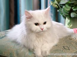 beautiful white cats wallpaper. Simple Wallpaper Cats Images Beautiful Persian Cat HD Wallpaper And Background Photos And White Wallpaper I