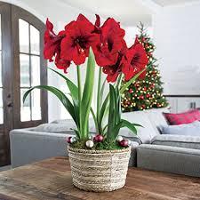 warm wishes amaryllis