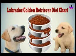 Puppy Feeding Chart Golden Retriever Labrador Golden Retriever Diet Chart In Hindi