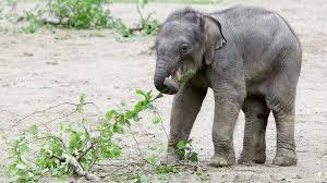 What food do asian elephant eat