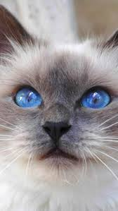 Small Picture 161 best Berman images on Pinterest Animals Ragdoll cats and
