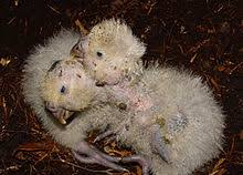 Image result for kakapo flightless parrot