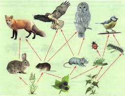 Цепи питания Экология Реферат доклад сообщение кратко  Цепи питания в природной экосистеме
