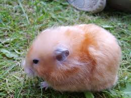 Syrian Hamster Varieties Harvey Hams