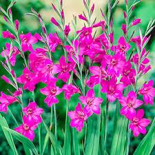 Byzantinus Gladiolus | Brecks.com