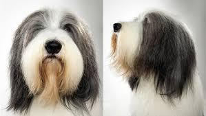 bearded collie bearded collie