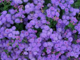 masses of fuzzy blue flowers adorn this low growing plant grows 6 10 tall in sun to part sun