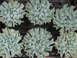 Decoration Astonishing Shade Tolerant Succulents In Succulents