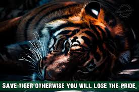 Tiger Quotes 100 Wonderful Save Tigers Slogans