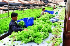 Kết quả hình ảnh cho công nhân trồng rau sạch