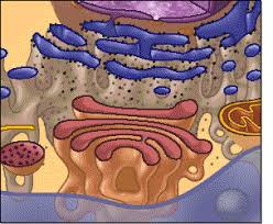 Endomembrane System Flow Chart Pearson The Biology Place