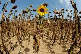 a sunflower blooms in between dried out ones during hot summer weather on a field near the village of benken switzerland last august reuters