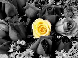 Flowers Black And White With Color Hd Wallpapers I Hd Images