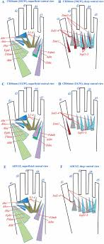 Development Of Human Limb Muscles Based On Whole Mount