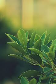 green leaf wallpapers for iphone