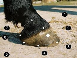 horseshoe nails in hoof. horseshoe nails in hoof