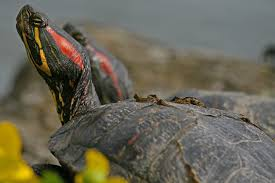 this is a red eared slider one of the most commonly kept turtles by filio