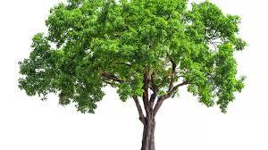 Tree Leaf Chart Shape Margin And Venation