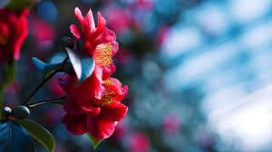 desktop background hd flowers. Simple Desktop Picture Of Red Flowers HD Desktop Wallpaper With Background Hd Flowers L
