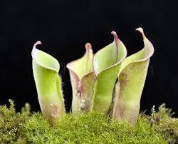 Αποτέλεσμα εικόνας για σαρκοφαγα φυτα