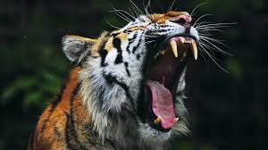 tiger roar side view. Beautiful Roar The Tiger Is All Of These Below You Will Find 15 Fascinating Facts And 25  Incredible Photographs This Magnificent Animal For Tiger Roar Side View R