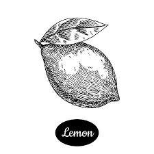 手書きのベクトル イラスト コレクションのレモンとオレンジ柑橘類と