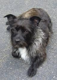 black cairn terrier mix. Plain Cairn Top Down View Of A Wiry Looking Black With White And Tan Toxirn Dog That With Black Cairn Terrier Mix R