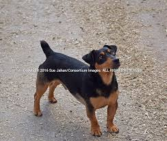 jack russell terrier black and tan. Exellent Terrier An Irish Black And Tan Jack Russell Terrier Stands Alert Waiting For  Instructions Inside And E