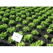 Купить <b>Фантайм F1</b> / Funtime <b>F1</b>. S&G (Syngenta <b>Seeds</b>). <b>Салат</b> ...