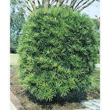 3-Gallon Podocarpus Screening Tree (L8348)