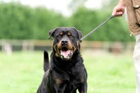 rottweiler german guard dog