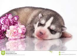 siberian husky newborn puppies. Exellent Puppies Newborn Siberian Husky Puppy See My Other Works In Portfolio And Siberian Husky Puppies I