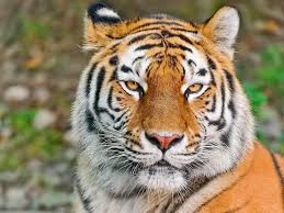 tiger face wallpapers top free tiger