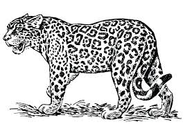 Jaguar Coloring Pages Bahamasecoforumcom