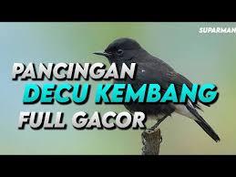 Mengenal jenis burung decu, makanan, dan. Terapi Untuk Decu Kembang Macet Masteran Decu Kembang Gacor Youtube